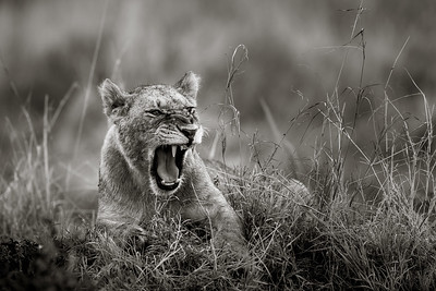 Angry Lion Cub