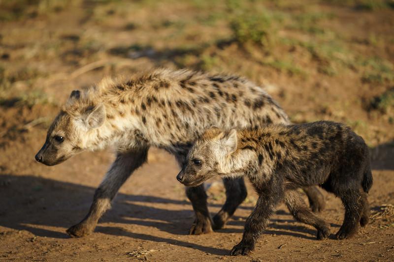 Hyena Siblings