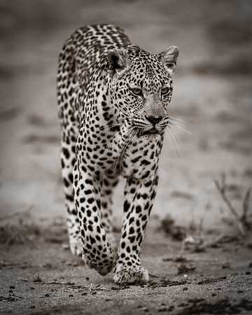 Roaming Female Leopard