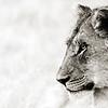 Female Sub Adult Lion