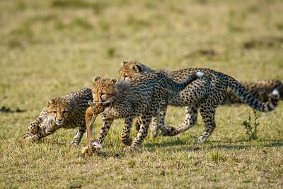 Playing Cheetah Cubs