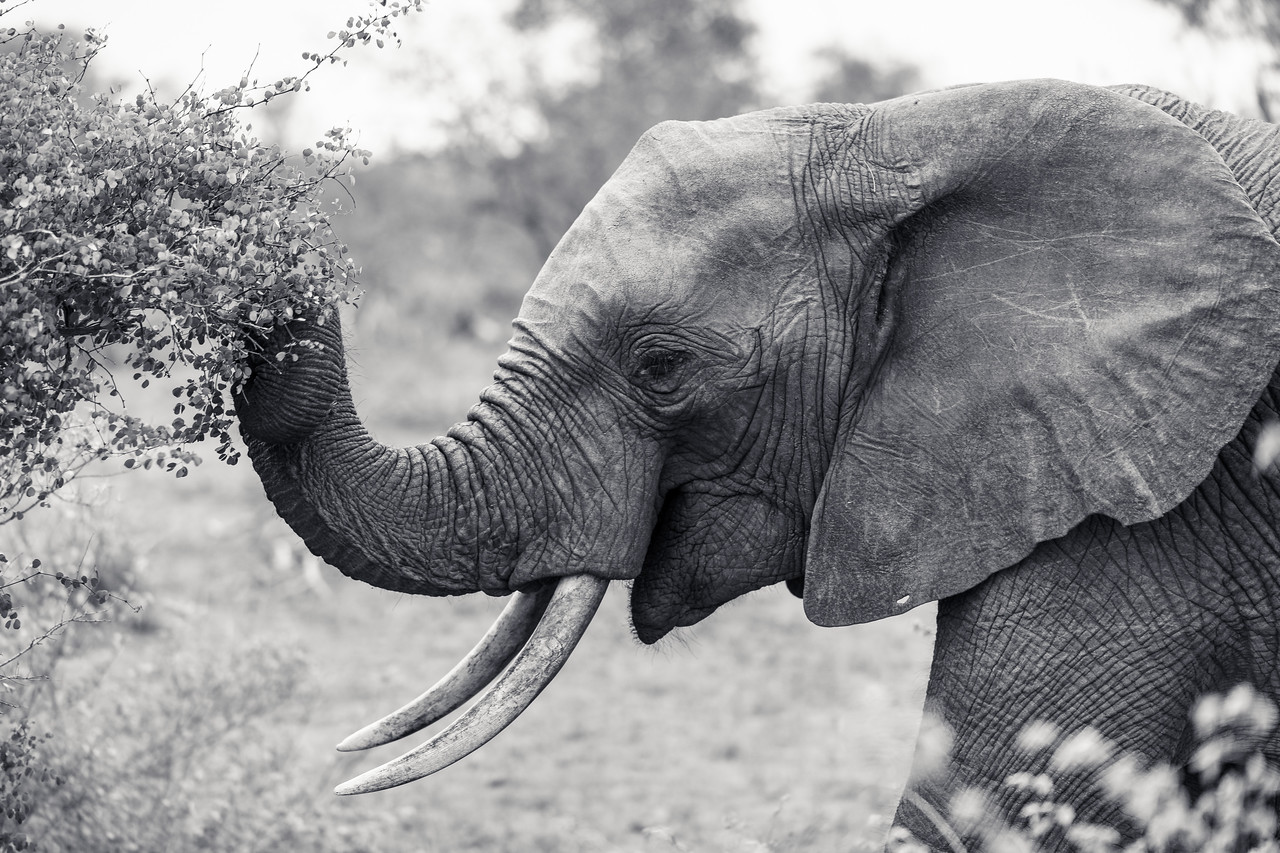 Curly Trunk Elephant