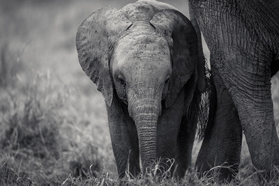 Elephant Calf By Mother