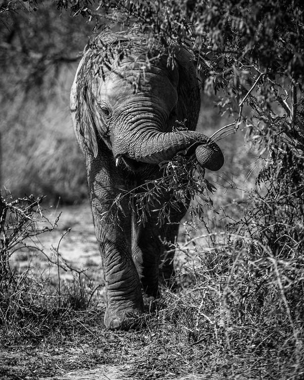 Hungry baby Elephant