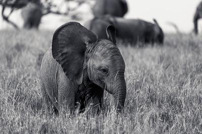 Big Ears Elephant  Calf