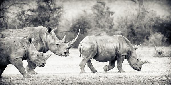 White Rhino Family