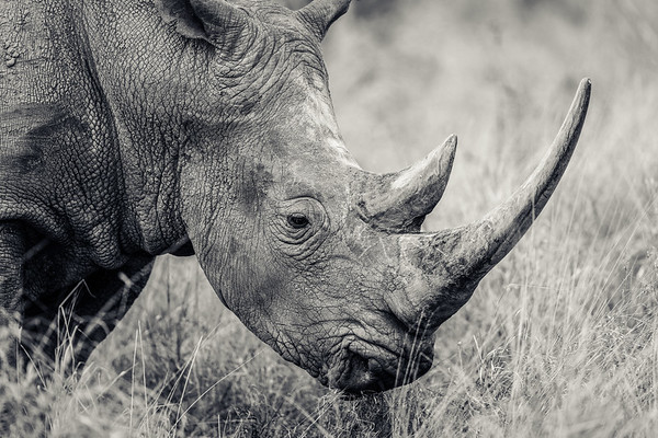 Long Horned Rhino
