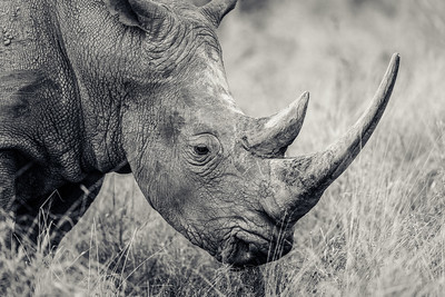 Long Horned Rhino