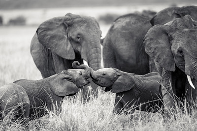 Kissing Elephant Calves