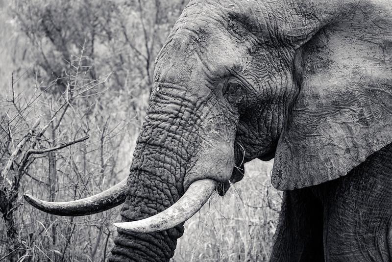 Old Lone Elephant