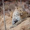 Beautiful Xikavi Leopard
