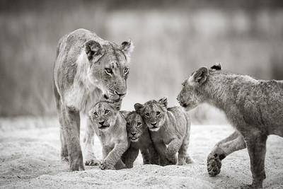 Lion Cousin