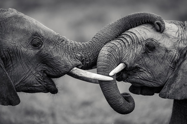 Affectionate Elephants