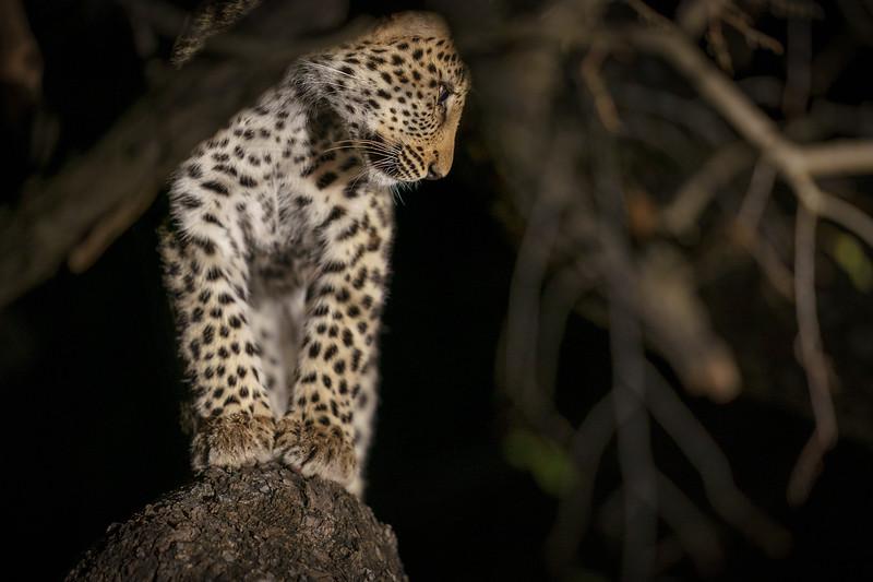 Balancing Leopard Cub