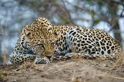 Restful Leopard