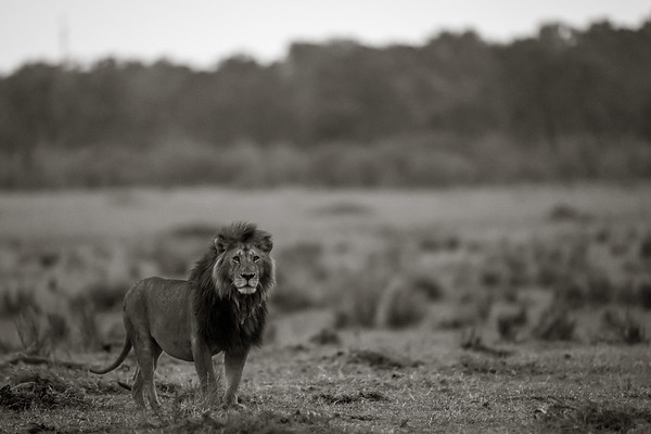 Mara Male Lion