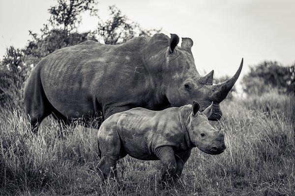Rhino  Calf and Mother
