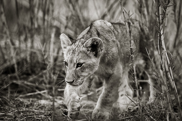 Lion Cub in the Reeds