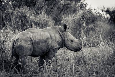 Lone Rhino Calf