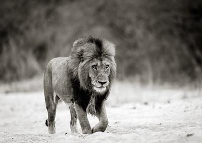 Male Lion Patrolling