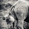 Baby White Rhino With Mum