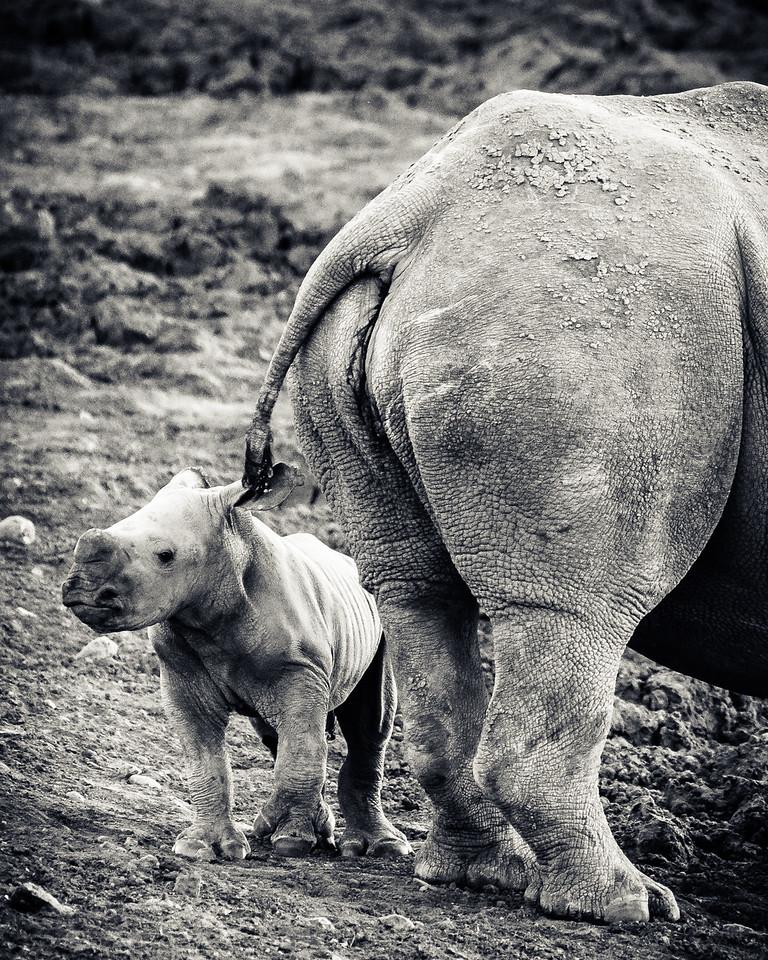 Baby White Rhino With Mum