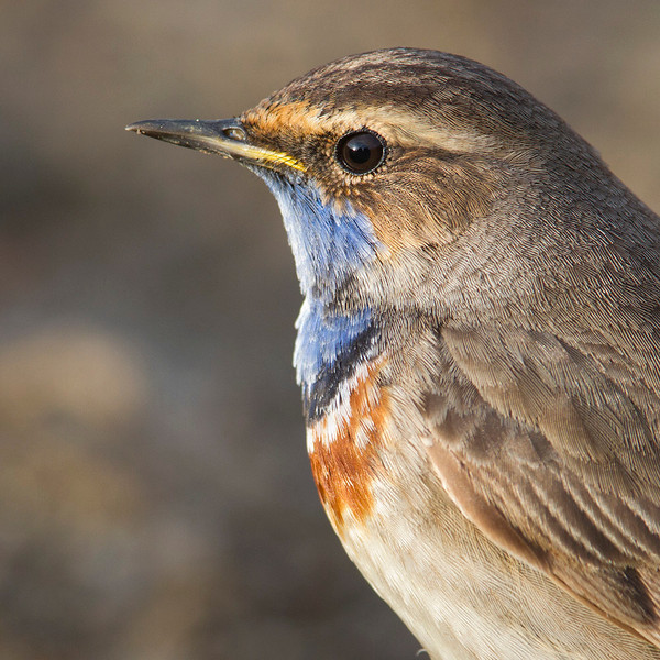 Bluethroat portrait