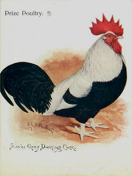 Silver Grey Dorking Cock