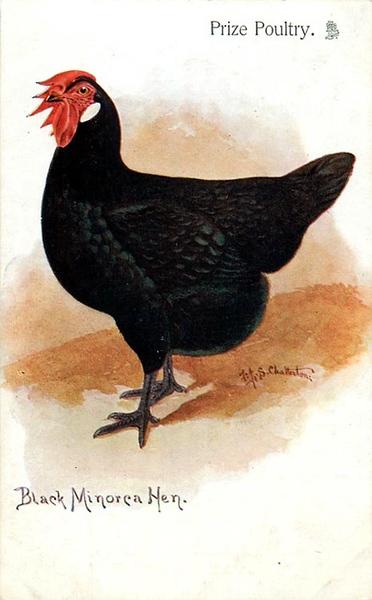 Black Minorca Hen