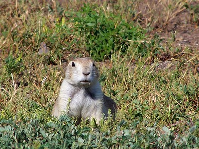 Prairie Dog - SD