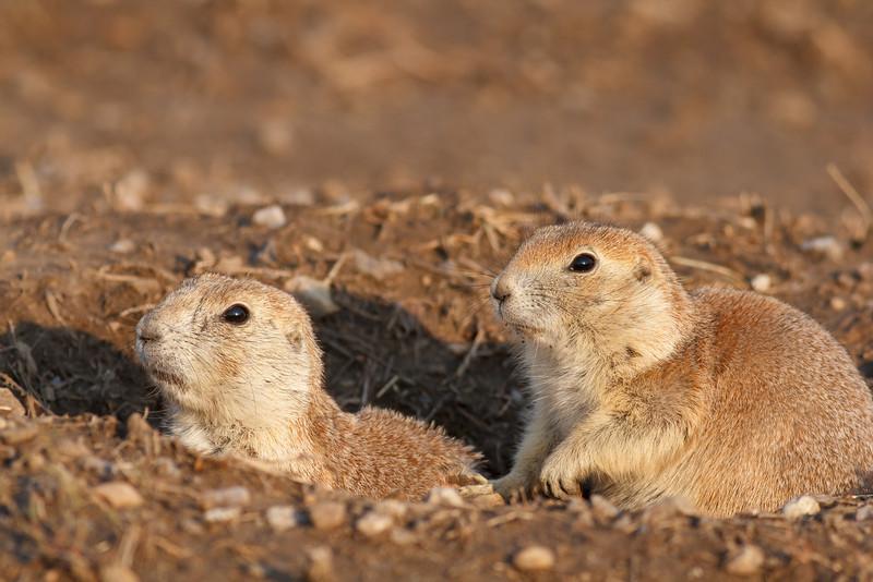 Prairie dogs, Badlands National Park