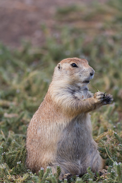 Prairie Dog, Badlands National Park