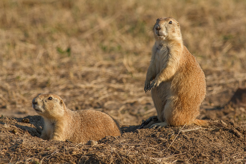 Prairie dogs, Badlands National Park