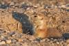 Prairie Dog, Badlands National Park