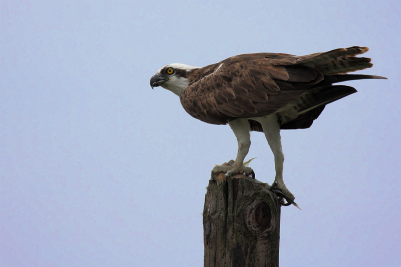 An adult Osprey in Lake Marian Highlands on the lookout while he eats a fish on top of a short power pole.