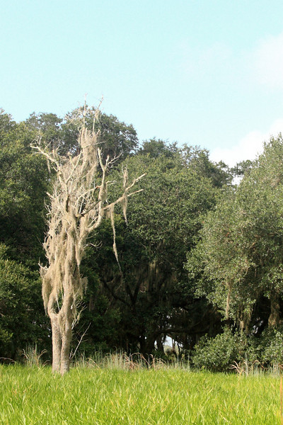 Some more Spanish Moss hanging off a dead tree. If you go through the hole in the woods just to the right of center you'll pass a couple of rustic campsites with picnic tables, and come out the other end at Dry Pond, where the next photo was taken.
