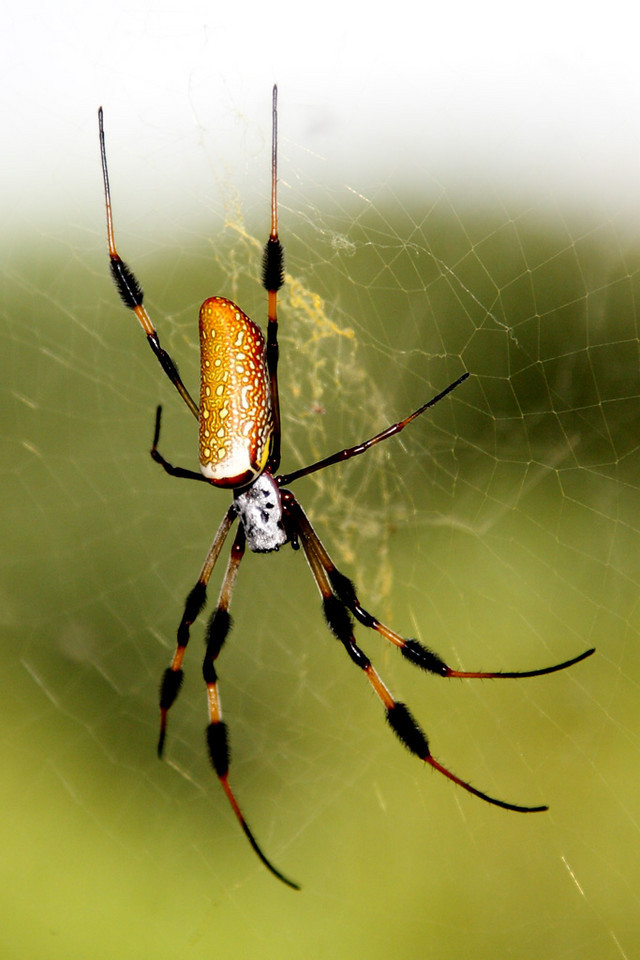 This is the female Golden Silk Spider. The male is much smaller. She is facing downward. She spins a large, strong web, and it will take you a while to pull it off your face if you inadvertantly walk into it while hiking. Luckily the spider is not dangerous and usually quite calm.