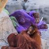 Orangutan Fashion