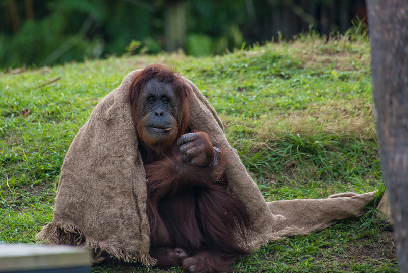 Orangutan Fashion