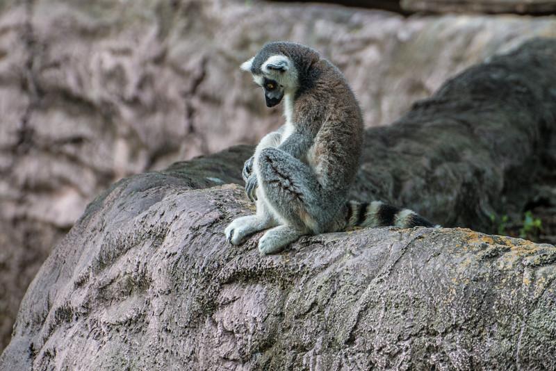 Lemur<br /> Tampa Busch Gardens