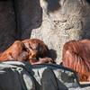 Orangutans/  Orangutan