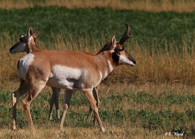 AA 07SP1500  Pronghorn (Antilocapra americana) buck and doe.    Photo taken in Beaverhead Co., MT.
