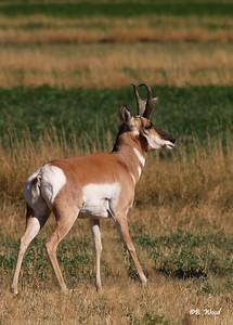 AA 07SP1488  Pronghorn (Antilocapra americana) buck.    Photo taken in Beaverhead Co., MT.