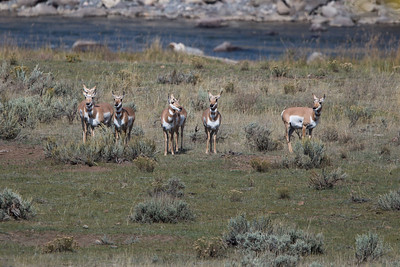 Pronghorn Wallflowers