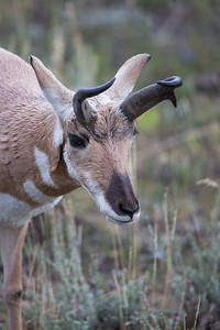 Pronghorn Portrait V