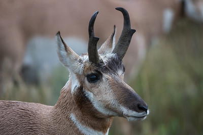 Pronghorn Portrait II