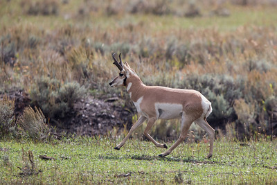 Pronghorn Canter
