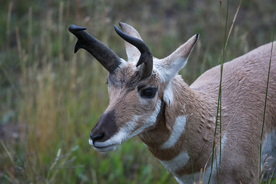 Pronghorn Portrait IV