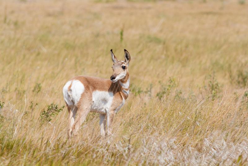 Pronghorn, Badlands National Park