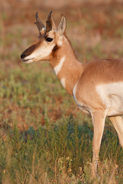 Pronghorn, Badlands National Park
